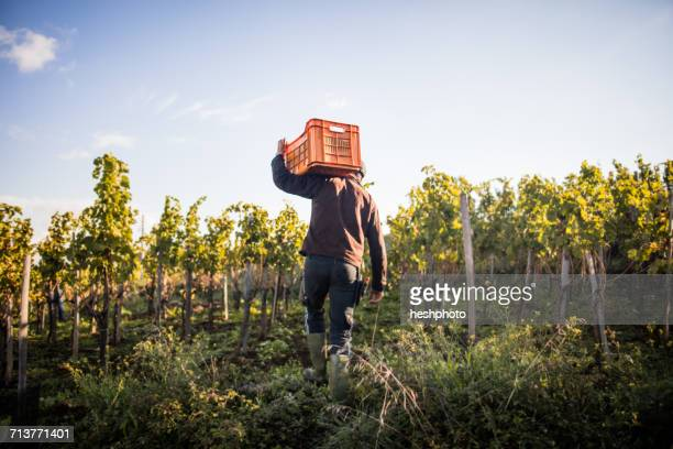 Rear view of young man carrying grape crate on shoulder in vineyard