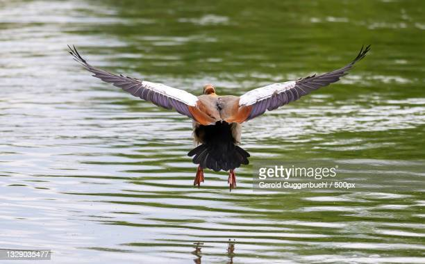 rear view of young woman with spread wings flying over lake,dietikon,switzerland - gerold guggenbuehl stock-fotos und bilder