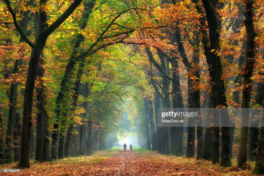 Rear view on Senior couple cycling on treelined path through majestic autumn leaf colors of beech trees : Stock Photo