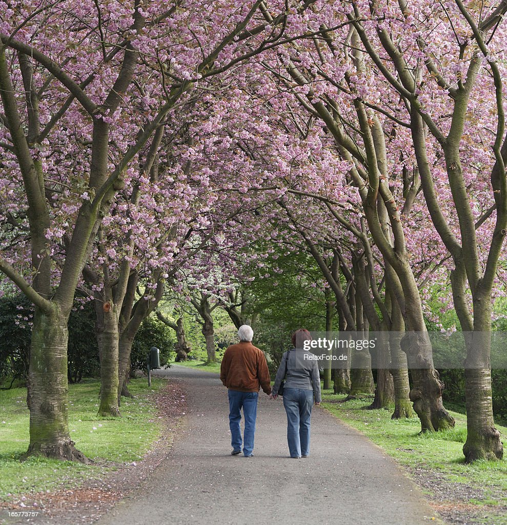Rear view on senior couple walking under blooming cherry trees : Stock Photo
