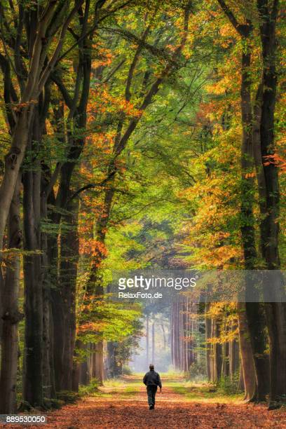 rear view on senior man walking on treelined footpath through beech forest into sunlight - beech tree stock pictures, royalty-free photos & images