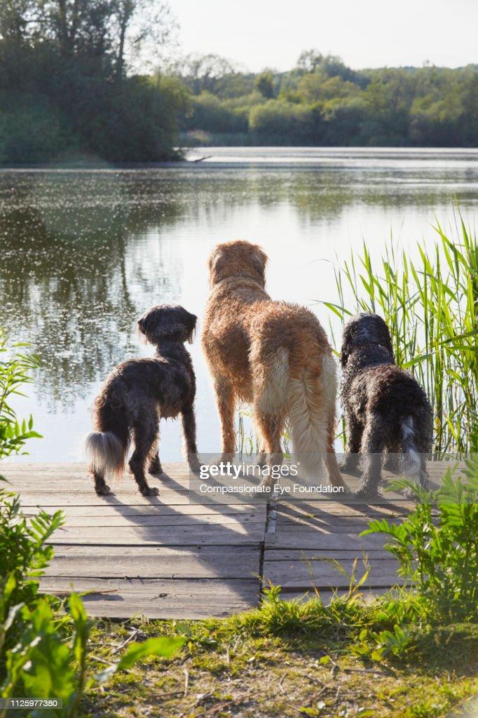 Rear view three dogs looking at lake : Stock Photo
