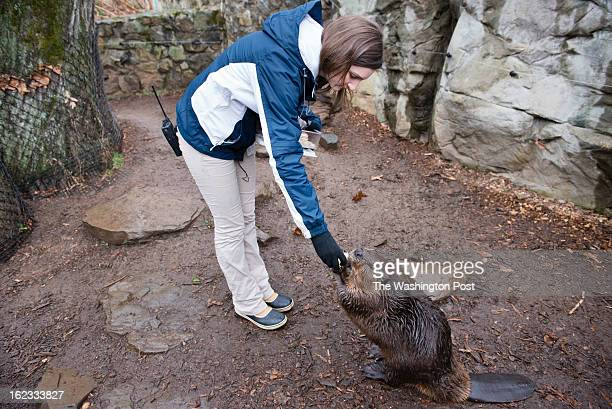 Rebecca Miller Animal Keeper feeds a North American beaver at the National Zoo Miller works with a group of four other keepers who take care of all...