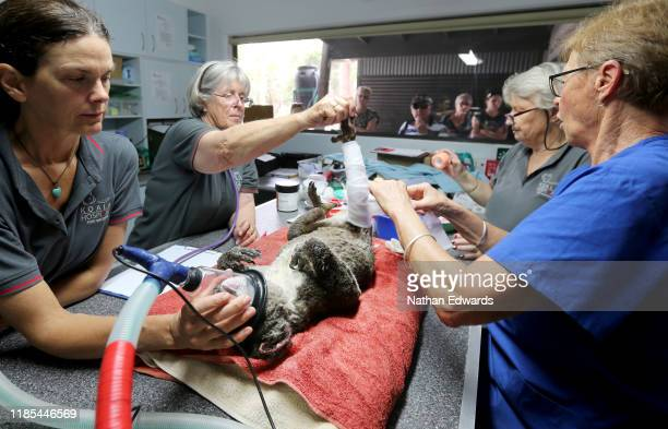 Rebecca Turner Judy Brady Sheila Bailey and Clinical Director Cheyne Flanagan treat a koala named Peter from Lake Innes Nature Reserve for burns at...