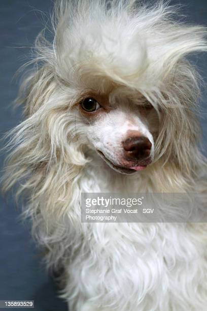rebel attitude dog - chinese crested dog stock photos and pictures