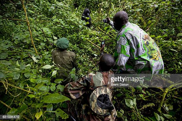 M23 rebel soldiers and their selfappointed warden visit mountain gorillas in the Bukima section of Virunga National Park Mountain Gorillas are...