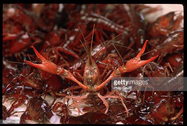 rebellious crawfish - baton rouge foto e immagini stock
