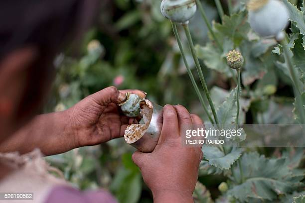 Recent picture of a girl working in a poppy field in Guerrero State Mexico Mexico is being whipped by drug cartels war disputing their local place...