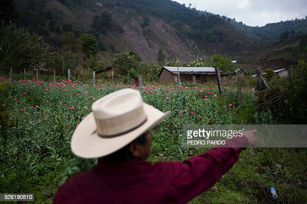 Recent picture of a man showing a poppy field in Guerrero State Mexico Mexico is being whipped by drug cartels war disputing their local place and...