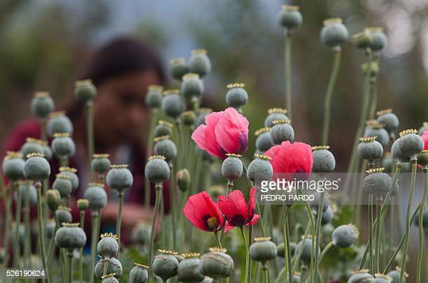 Recent picture of a woman working in a poppy field in Guerrero State Mexico Mexico is being whipped by drug cartels war disputing their local place...