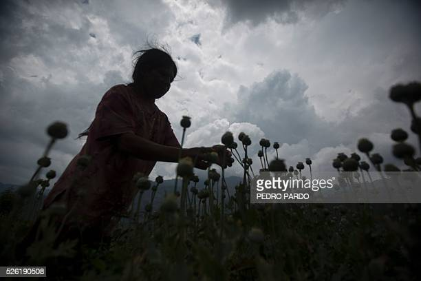 Recent picture of a working in a poppy field in Guerrero State Mexico Mexico is being whipped by drug cartels war disputing their local place and...