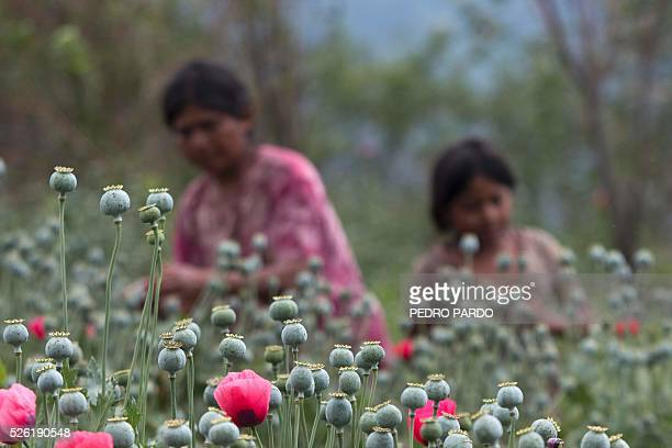 Recent picture of women working in a poppy field in Guerrero State Mexico Mexico is being whipped by drug cartels war disputing their local place and...