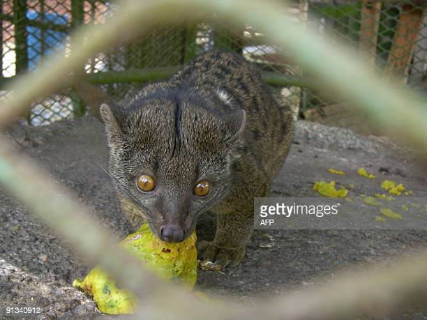 BRACONNAGES*** Recent picture taken on September 11 2009 showing a galago in a cage which escaped from poachers in a nearby forest and then was...