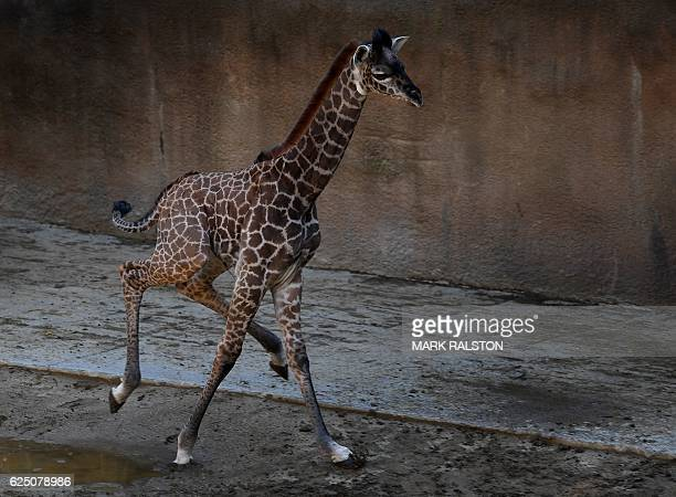 A recently born and unnamed baby female Masai giraffe calf runs in its enclosure at the Los Angeles zoo in California on November 22 2016 The calf...