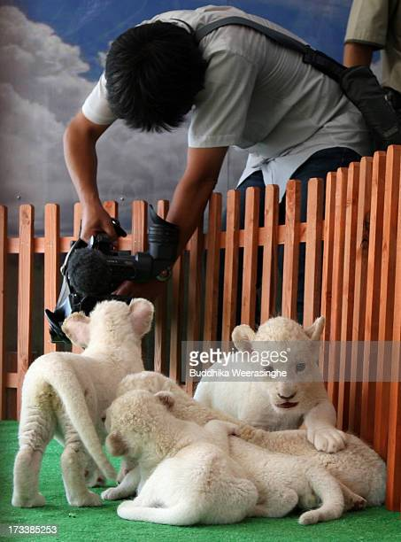A recently born lion cub plays as a cameraman shoots video during their first public viewing at Himeji Central Park on July 13 2013 in Himeji Japan...