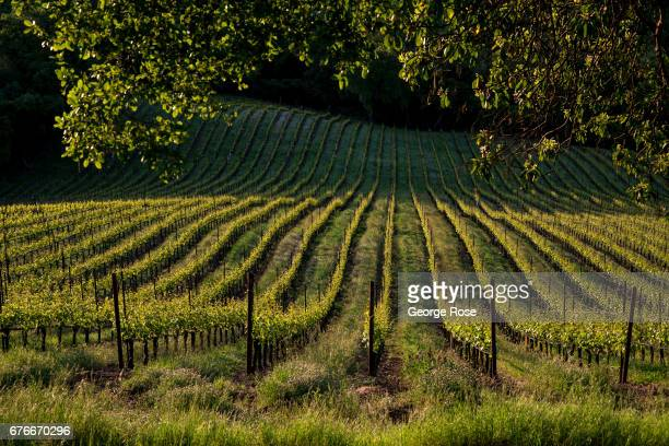 A recently pruned vineyard is finally experiencing a green spring as viewed on April 27 near Forestville California After record winter rainfall...