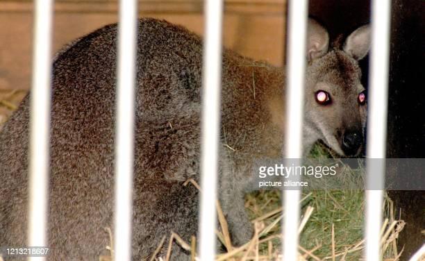 """Recht scheu schaut Känguruh """"Manni II"""" am 2.9.1998 durch die Gitterstäbe seines """"neuen Heimes"""" in Heinsberg. Doch es geht ihm wieder gut. Eine..."""