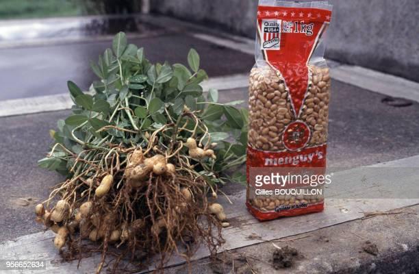 Recolte de cacahuètes en France à Lauragais en novembre 1994 France