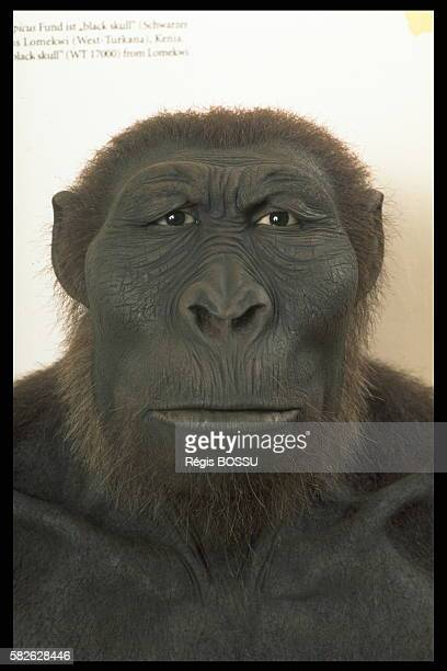 Reconstructed head of the 'Australopithecus Boisei' 11 to 24 million years old