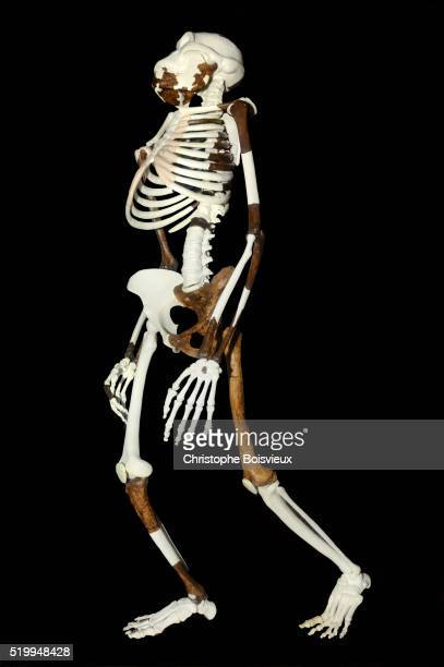 reconstructed skeleton of lucy at the national museum of ethiopia - australopithecus stock pictures, royalty-free photos & images