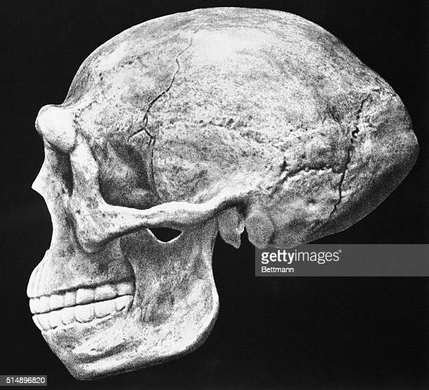 Reconstructed skull of Sinanthropus pekinensis also known as Homo erectus pekinensis and Peking Man first found near Beijing China in the 1920s and...