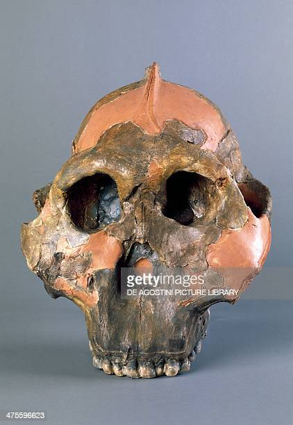 Reconstruction of a skull of Paranthropus boisei or Australopithecus boisei discovered by the English anthropologist Mary Leakey in 1959 at Olduvai...