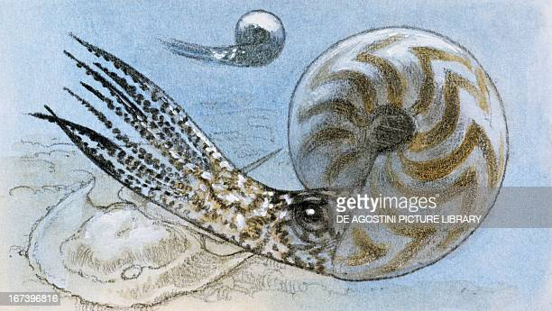 Reconstruction of ammonite a subclass of Cephalopoda which went extinct between the Upper Cretaceous and the Paleocene Period Drawing