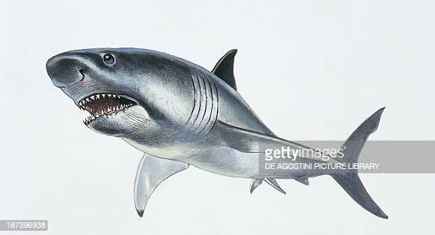 Reconstruction of Megalodon extinct species of shark which lived between the Eocene and the Pliocene Period Drawing