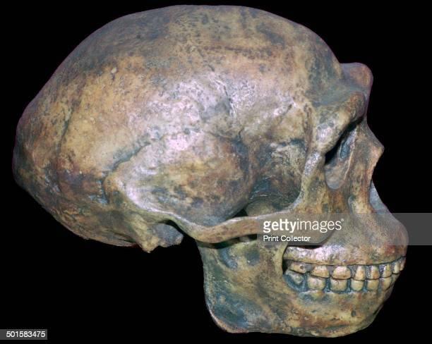 A reconstruction of the skull of 'Peking man'