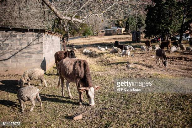 Recovered cattle graze in a Lesotho Police compound on June 4, 2017 in a village on the outskirts of Maseru, Lesotho. The red tape of South Africa's...