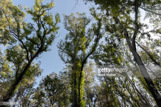 Recovering bushland is pictured near Cobargo on May 09 2020 in Cobargo Australia The small town of Cobargo on the New South Wales south coast was...