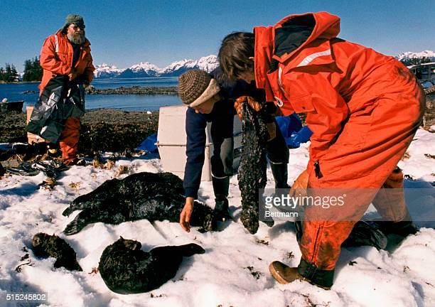 Recovery crews pick up dead sea otters along Green Island Alaska following the Exxon Valdez oil spill in Prince William Sound the worst oil spill in...