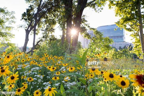 recreation path with black-eyed susan flowers and university cityin background - urban renewal stock pictures, royalty-free photos & images