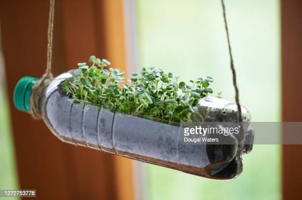 recycled bottle as planter with micro green seedlings. - sustainable lifestyle stock pictures, royalty-free photos & images