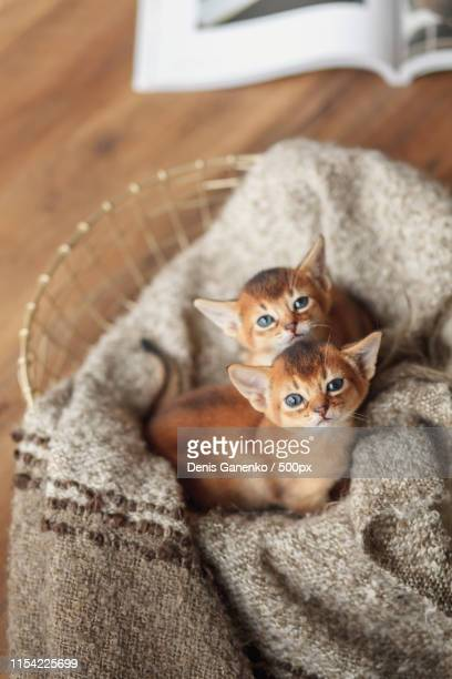 Red Abyssinian Kittens In A Basket