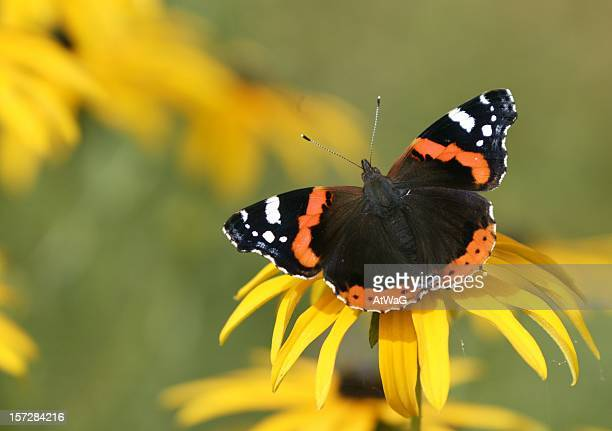 Red admiral butterfly on yellow flower