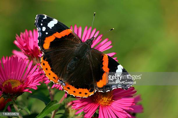 Red Admiral Butterfly sitting on Aster-Blossoms (Vanessa atalanta)