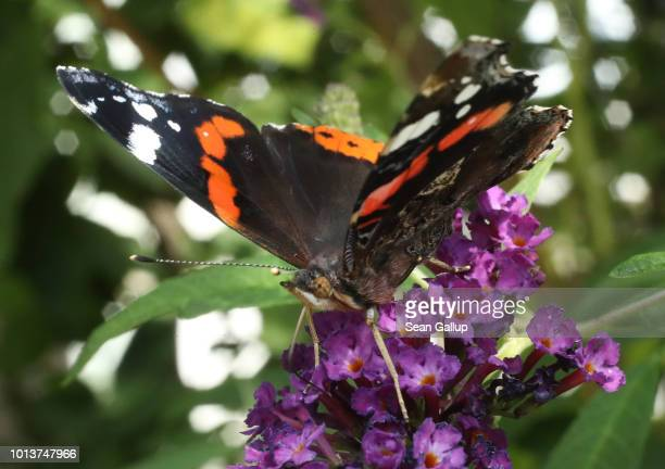 A red admiral butterfly stands on a flower in an urban garden in the city center on August 9 2018 in Berlin Germany NABU Germany's biggest NGO for...