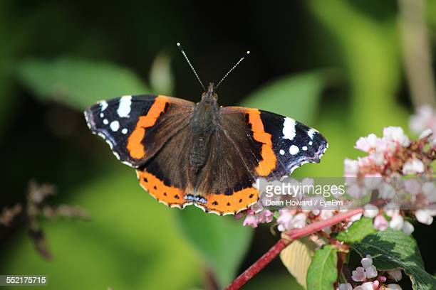 Red Admiral Pollinating Flower