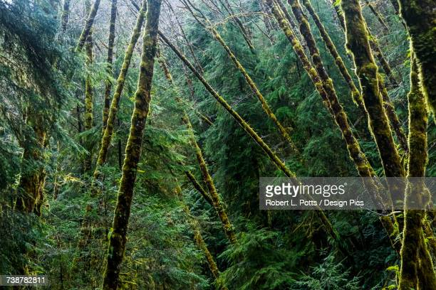 Red Alder trees grow with conifers