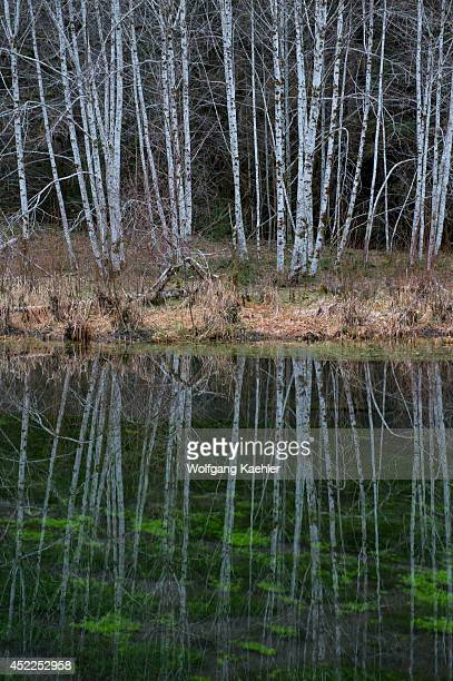 Red alder trees reflecting in pond near the Hoh River rainforest Olympic National Park Washington State United States