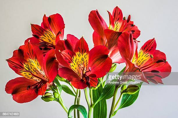 red alstroemeria flowers against gray background - alstroemeria stock pictures, royalty-free photos & images