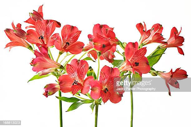 red alstroemeria - alstroemeria stock pictures, royalty-free photos & images