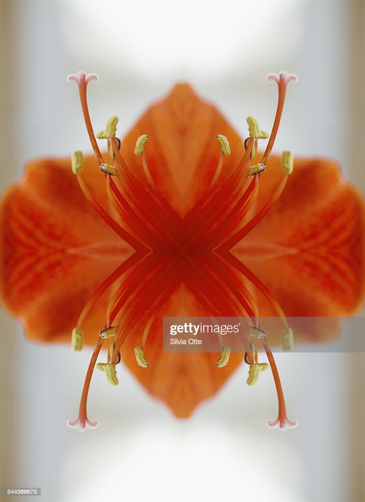 Red amaryllis flower : Stock Photo
