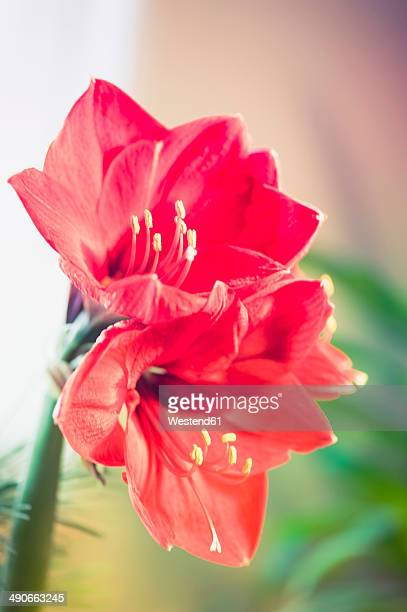 red amaryllis - amaryllis stock pictures, royalty-free photos & images
