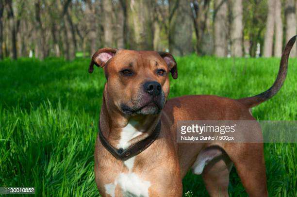Red American Staffordshire Terrier Is In Full Growth