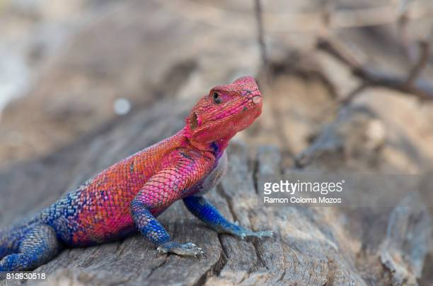 red and blue agama lizard - lizard stock pictures, royalty-free photos & images