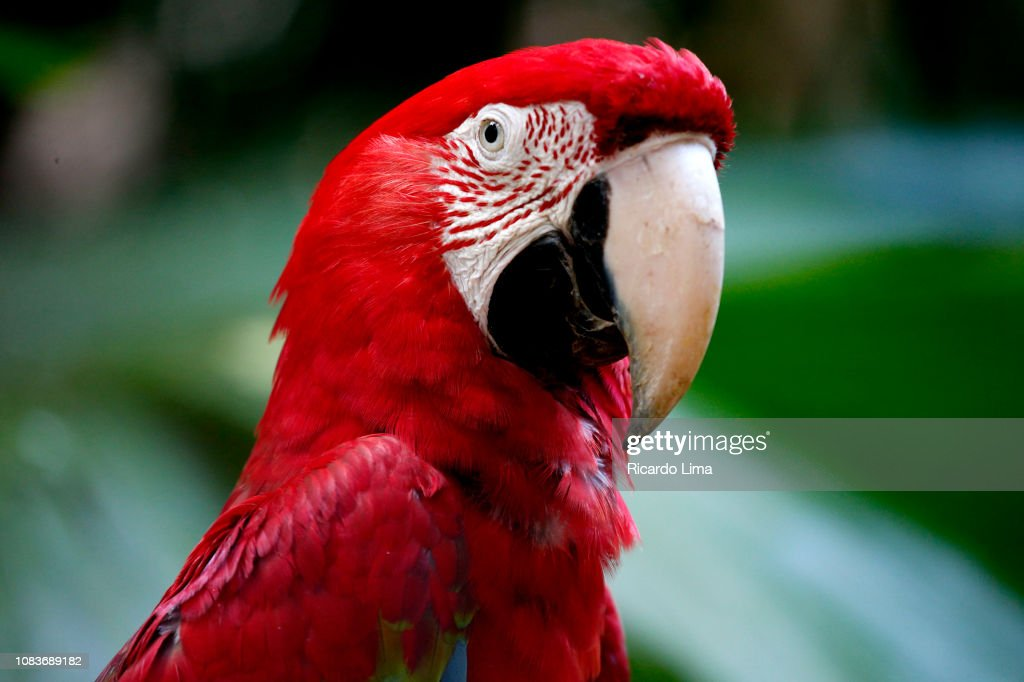 Red And Blue Macaws Seen In Amazon Region, Brazil : Foto stock