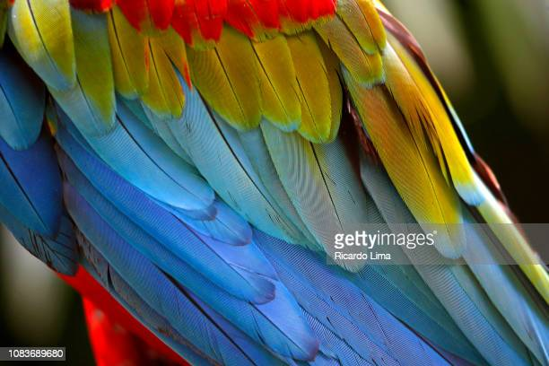red and blue macaws seen in amazon region, brazil - arbre tropical photos et images de collection