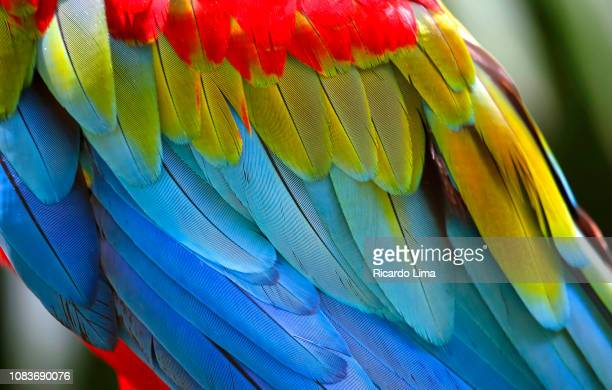 red and blue macaws seen in amazon region, brazil - lima animal stock pictures, royalty-free photos & images